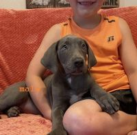 Great Dane Puppies for sale in Ohio City, Cleveland, OH, USA. price: NA