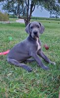 Great Dane Puppies for sale in Franksville, Caledonia, WI, USA. price: NA