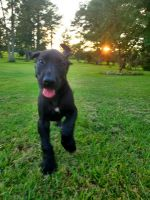 Great Dane Puppies for sale in Carthage, NC, USA. price: NA