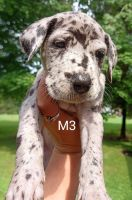 Great Dane Puppies for sale in Fairview, PA, USA. price: NA