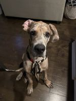 Great Dane Puppies for sale in 211 Providence Farm Dr, Spartanburg, SC 29316, USA. price: NA