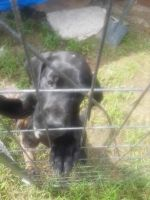 Great Dane Puppies for sale in Roseville, OH 43777, USA. price: NA