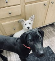 Great Dane Puppies for sale in Mobile, AL 36608, USA. price: NA