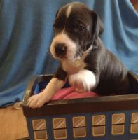 Great Dane Puppies for sale in Bunceton, MO 65237, USA. price: NA