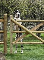 Great Dane Puppies for sale in Holland, OH 43528, USA. price: NA