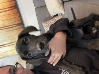 Great Dane Puppies for sale in Carthage, TN 37030, USA. price: NA