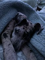 Great Dane Puppies for sale in Lakeland, FL, USA. price: NA