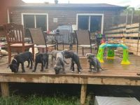 Great Dane Puppies for sale in Bowling Green, KY, USA. price: NA