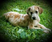 Great Dane Puppies for sale in West Grove, PA 19390, USA. price: NA
