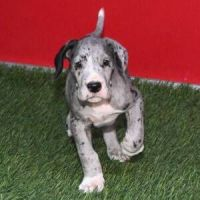 Great Dane Puppies for sale in 3720 N Tryon St, Charlotte, NC 28206, USA. price: NA