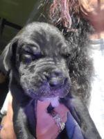 Great Dane Puppies for sale in Elizabeth, CO 80107, USA. price: NA