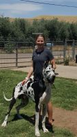 Great Dane Puppies for sale in Lindsay, CA 93247, USA. price: NA