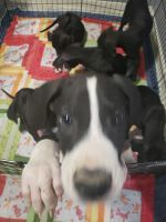 Great Dane Puppies for sale in Cleveland, TX, USA. price: NA