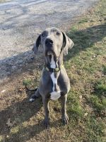 Great Dane Puppies for sale in Chatham, IL, USA. price: NA