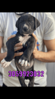 Great Dane Puppies for sale in Hialeah, FL, USA. price: NA
