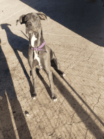 Great Dane Puppies for sale in VC Highlands, NV 89521, USA. price: NA