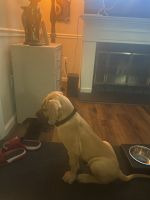 Great Dane Puppies for sale in Cicero, NY, USA. price: NA