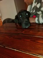 Great Dane Puppies for sale in Burley, ID, USA. price: NA