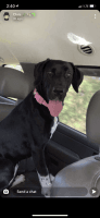 Great Dane Puppies for sale in Hammond, LA, USA. price: NA
