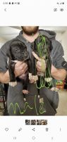 Great Dane Puppies for sale in Monticello, IN 47960, USA. price: NA