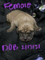 Great Dane Puppies for sale in Griswold, IA 51535, USA. price: NA