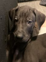 Great Dane Puppies for sale in Liberty, NY, USA. price: NA