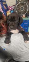 Great Dane Puppies for sale in Hesperia, CA, USA. price: NA