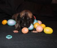 Great Dane Puppies for sale in New Egypt, NJ 08533, USA. price: NA