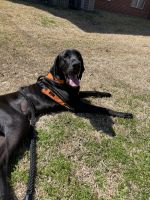 Great Dane Puppies for sale in Bryan, TX, USA. price: NA