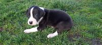 Great Dane Puppies for sale in White Oak Rd, Mountain Township, MO 64856, USA. price: NA
