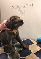 Great Dane Puppies for sale in Chanute, KS 66720, USA. price: NA