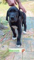 Great Dane Puppies for sale in Wilmington, NC, USA. price: NA