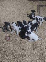 Great Dane Puppies for sale in Dakota, IL 61018, USA. price: NA