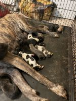Great Dane Puppies for sale in 1304 New Haven St, Arlington, TX 76011, USA. price: NA