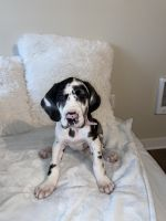 Great Dane Puppies for sale in Bothell, WA, USA. price: NA