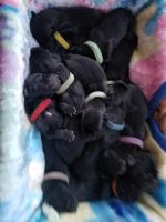 Great Dane Puppies for sale in Angola, IN 46703, USA. price: NA