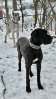 Great Dane Puppies for sale in Wauwatosa, WI, USA. price: NA