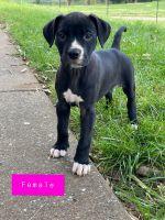 Great Dane Puppies for sale in Murfreesboro, TN, USA. price: NA