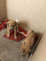 Great Dane Puppies for sale in Bastrop, TX 78602, USA. price: NA