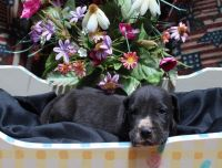 Great Dane Puppies for sale in Gibson, GA 30810, USA. price: NA