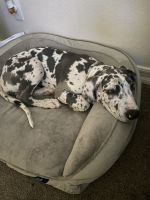 Great Dane Puppies for sale in La Mesa, CA 91941, USA. price: NA