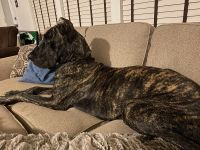 Great Dane Puppies for sale in Chester, VA, USA. price: NA