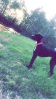 Great Dane Puppies for sale in Evansville, IN, USA. price: NA