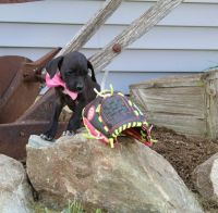 Great Dane Puppies for sale in Millersburg, IN 46543, USA. price: NA