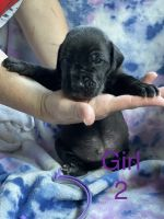 Great Dane Puppies for sale in LaFollette, TN, USA. price: NA