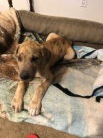 Great Dane Puppies for sale in Texarkana, AR 71854, USA. price: NA