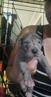 Great Dane Puppies for sale in Scranton, PA, USA. price: NA