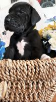 Great Dane Puppies for sale in Junction City, OR 97448, USA. price: NA