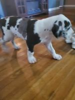 Great Dane Puppies for sale in Owensboro, KY, USA. price: NA