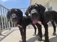 Great Dane Puppies for sale in Boca Raton, FL, USA. price: NA
